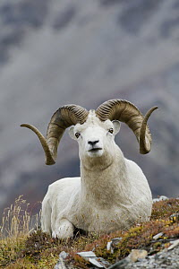 Dall's Sheep (Ovis dalli) bedded ram, central Alaska  -  Donald M. Jones