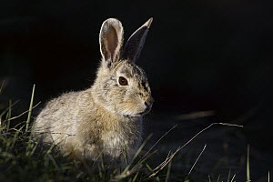 Desert Cottontail (Sylvilagus audubonii), Charles M. Russell National Wildlife Refuge, Montana - Donald M. Jones