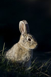 Desert Cottontail (Sylvilagus audubonii), Charles M. Russell National Wildlife Refuge, eastern Montana - Donald M. Jones