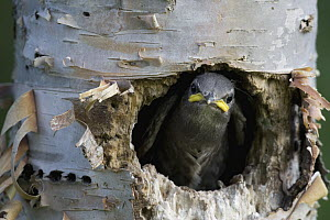 Common Starling (Sturnus vulgaris) chick peeking out of nest cavity, western Montana - Donald M. Jones