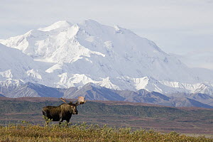 Alaska Moose (Alces alces gigas) bull standing on tundra with Mount Denali in background, Denali National Park, Alaska  -  Donald M. Jones