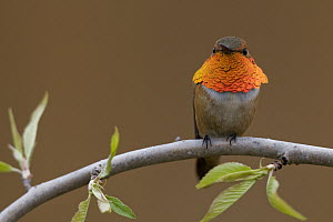 Rufous Hummingbird (Selasphorus rufus) male sitting on willow branch, Troy, Montana  -  Donald M. Jones