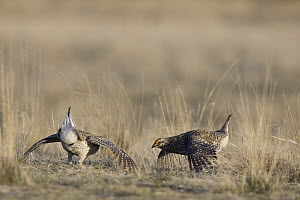 Sharp-tailed Grouse (Tympanuchus phasianellus) males displaying on lek, eastern Montana - Donald M. Jones
