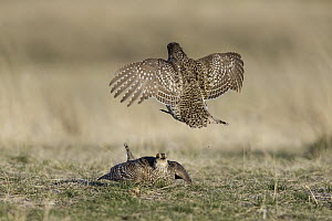 Sharp-tailed Grouse (Tympanuchus phasianellus) males fighting on lek, eastern Montana - Donald M. Jones