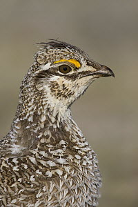 Sharp-tailed Grouse (Tympanuchus phasianellus) male, central Montana - Donald M. Jones