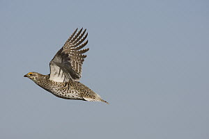 Sharp-tailed Grouse (Tympanuchus phasianellus) male flying, eastern Montana - Donald M. Jones