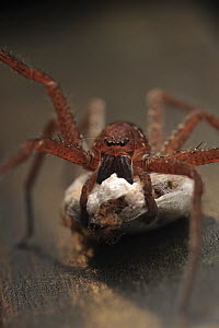 Giant Crab Spider (Sparassidae) female carrying her egg sac, Borneo, Malaysia - Chien Lee