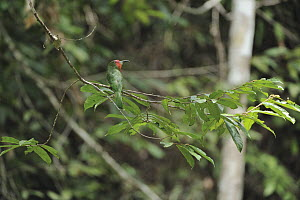 Red-bearded Bee-eater (Nyctyornis amictus), Lambir Hills National Park, Borneo, Malaysia  -  Chien Lee