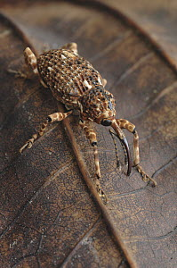 True Weevil (Curculionidae), Fraser's Hill, Malaysia - Chien Lee