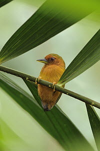 Rufous Piculet (Sasia abnormis) on a spiny rattan petiole, Sepilok Forest Reserve, Borneo, Malaysia - Chien Lee