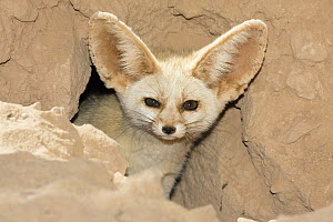 Fennec Fox (Vulpes zerda) looking out of den, Libya - Konrad Wothe