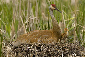 Sandhill Crane (Grus canadensis) incubating unhatched egg on nest with already born chick, Kensington Metropark, Michigan - Steve Gettle