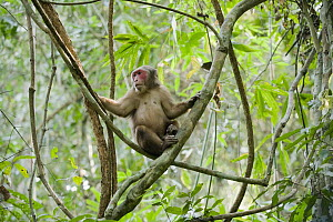 Stump-tailed Macaque (Macaca arctoides) male, Gibbon Wildlife Sanctuary, Assam, India  -  Kevin Schafer