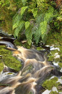 Stream stained brown by organic matter with overhanging ferns, Oparara Basin Arches, Kahurangi National Park, Karamea, New Zealand  -  Colin Monteath