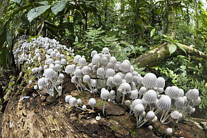 Mushrooms on log in the rainforest at Tambopata River, Peru - Konrad Wothe