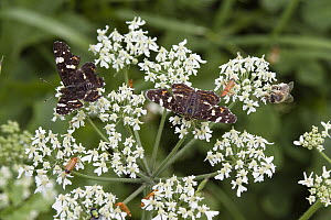 Map Butterfly (Araschnia levana) pair on flower, Bavaria, Germany - Konrad Wothe
