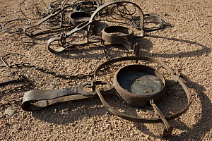 Leg-hold traps and wire snares which are used illegally to eradicate predators, Sierra de Andujar Natural Park, Andalusia, Spain - Pete Oxford