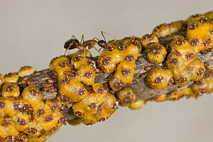 Yellow Crazy Ant (Anoplolepis gracilipes), an invasive species, receiving nutrition from scale insects, Christmas Island, Indian Ocean, Territory of Australia - Ingo Arndt