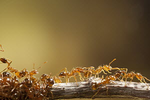 Red Imported Fire Ant (Solenopsis invicta) group, invasive introduced species, Texas - Michael Durham