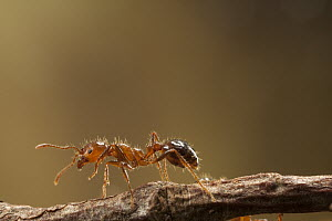 Red Imported Fire Ant (Solenopsis invicta) worker, an invasive introduced species, Texas - Michael Durham