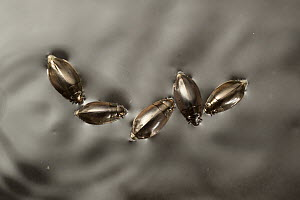 Whirligig Beetle (Dineutus sp) group swimming in water, central Texas  -  Michael Durham
