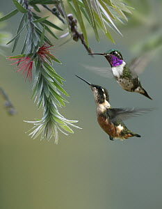 White-bellied Woodstar (Acestrura mulsant) hummingbird male and female feeding on flower, Costa Rica  -  Tim Fitzharris