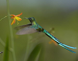 Long-tailed Sylph (Aglaiocercus kingi) hummingbird feeding on flower, Ecuador  -  Tim Fitzharris