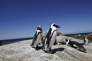 Black-footed Penguin (Spheniscus demersus) group on rocks, Boulders Beach, South Africa - Luciano Candisani