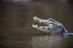 Jacare Caiman (Caiman yacare) with open mouth, Pantanal, Brazil - Luciano Candisani