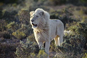 African Lion (Panthera leo) adult male, Sanbona Wildlife Reserve, South Africa  -  Luciano Candisani