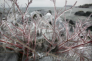 Red-osier Dogwood (Cornus sericea) covered in ice, Tettegouche State Park, north shore of Lake Superior, Minnesota  -  Jim Brandenburg