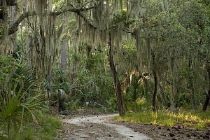 Spanish Moss (Tillandsia complanata) growing on Southern Live Oak (Quercus virginiana), Little St. Simon's Island, Georgia  -  Pete Oxford