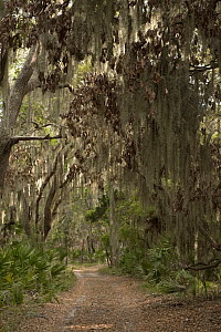 Spanish Moss (Tillandsia complanata) growing on Southern Live Oak (Quercus virginiana) with dirt road, Little St. Simon's Island, Georgia  -  Pete Oxford