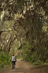 Spanish Moss (Tillandsia complanata) growing on Southern Live Oak (Quercus virginiana) with dirt road and cyclist, Little St. Simon's Island, Georgia  -  Pete Oxford