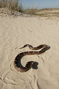 Common Kingsnake (Lampropeltis getulus) on beach, Little St. Simon's Island, Georgia  -  Pete Oxford