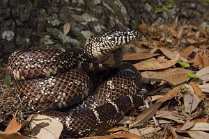 Common Kingsnake (Lampropeltis getulus) in leaf litter, Little St. Simon's Island, Georgia  -  Pete Oxford
