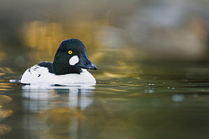 Common Goldeneye (Bucephala clangula) male in breeding plumage on pond, Santa Cruz, Monterey Bay, California - Sebastian Kennerknecht