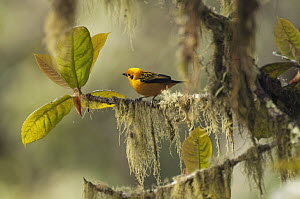 Golden Tanager (Tangara arthus), Colombia  -  Murray Cooper