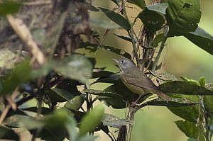 Canada Warbler (Cardellina canadensis), Colombia  -  Murray Cooper