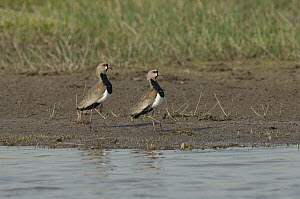 Southern Lapwing (Vanellus chilensis) pair on shoreline, Colombia  -  Murray Cooper