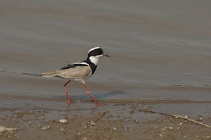 Pied Lapwing (Vanellus cayanus) on shoreline, Colombia  -  Murray Cooper
