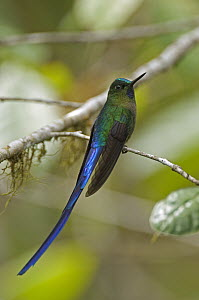 Long-tailed Sylph (Aglaiocercus kingi) hummingbird male, Ecuador  -  Murray Cooper