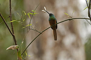 Coppery-chested Jacamar (Galbula pastazae) male with insect prey, Ecuador  -  Murray Cooper