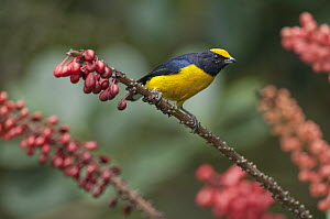 Orange-bellied Euphonia (Euphonia xanthogaster) male, Ecuador  -  Murray Cooper