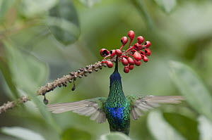 Sparkling Violet-ear (Colibri coruscans) hummingbird feeding on flower, Ecuador - Murray Cooper