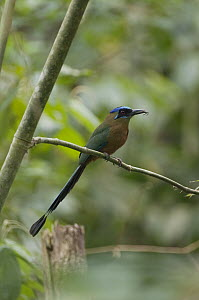 Blue-crowned Motmot (Momotus momota) with insect prey, Peru  -  Murray Cooper