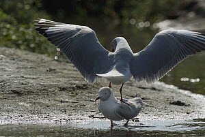 Grey-headed Gull (Larus cirrocephalus) pair courting, Ecuador  -  Murray Cooper