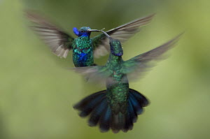 Sparkling Violet-ear (Colibri coruscans) hummingbird males fighting, Ecuador, digitally manipulated - Murray Cooper