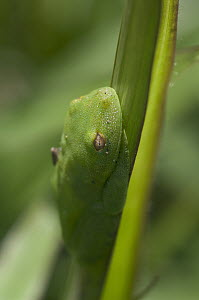 Demerara Falls Tree Frog (Hypsiboas cinerascens) camouflaged on leaf, Amazon, Ecuador  -  Murray Cooper