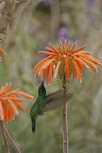 Sparkling Violet-ear (Colibri coruscans) hummingbird feeding at flower, Ecuador - Murray Cooper